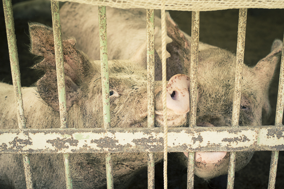 養豚場の豚たち